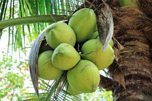 kokosnuss exotische frucht mit vielen talenten. Black Bedroom Furniture Sets. Home Design Ideas